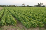 Harvest (caraotas) black beans
