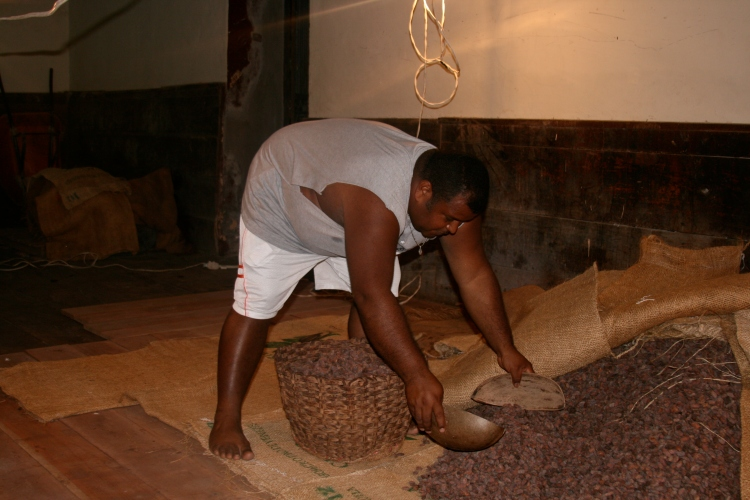 Fermentation of cocoa beans