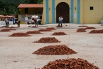 The drying of cocoa beans/Chuao.