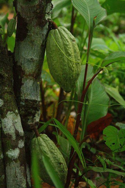 Mazorca of Cocoa