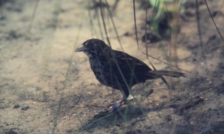One of the last living male dusky seaside sparrows is seen in this 1981 file photo while in captivity at Santa Fe Community College in Gainesville, Florida. DDT pesticide spraying since the 1940s contributed to the extinction of this species. Photograph: Nathan Benn/Corbis